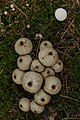 Lycoperdon spp. (29989098671).jpg