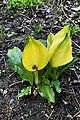 Lysichiton americanus (Araceae) (26796835424).jpg
