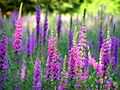 Lythrum salicaria, purple loosestrife 4.jpg