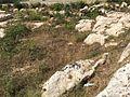 Mġarr cart ruts 19.jpg