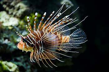 Antennata Lionfish, picture taken in Zoo Schön...