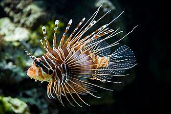 سمكة أسديَّة، أو سمكة التنين تسبح في حوض أسماك بحديقة حيوانات شونبرون، في ڤيينّا، بالنمسا