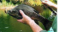 Macquarie perch