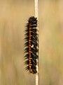 Macrothylacia rubi caterpillar with parasitoid larvae - Niitvälja bog.jpg
