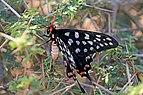 Madagascar giant swallowtail (Pharmacophagus antenor).jpg