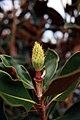 Magnolia grandiflora Little Gem 11zz.jpg