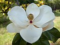 Magnolia the state flower of Mississippi.. - panoramio.jpg