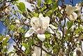 Magnolia x soulangiana Alba 2zz.jpg