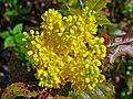 Mahonia aquifolium 003.JPG