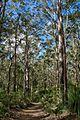 Majestic Eucalypt trees. Bushwalking 'Somerset trial' - Flickr - Tatters ❀.jpg