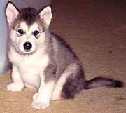 A Malamute pup