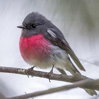 Rose robin - Male