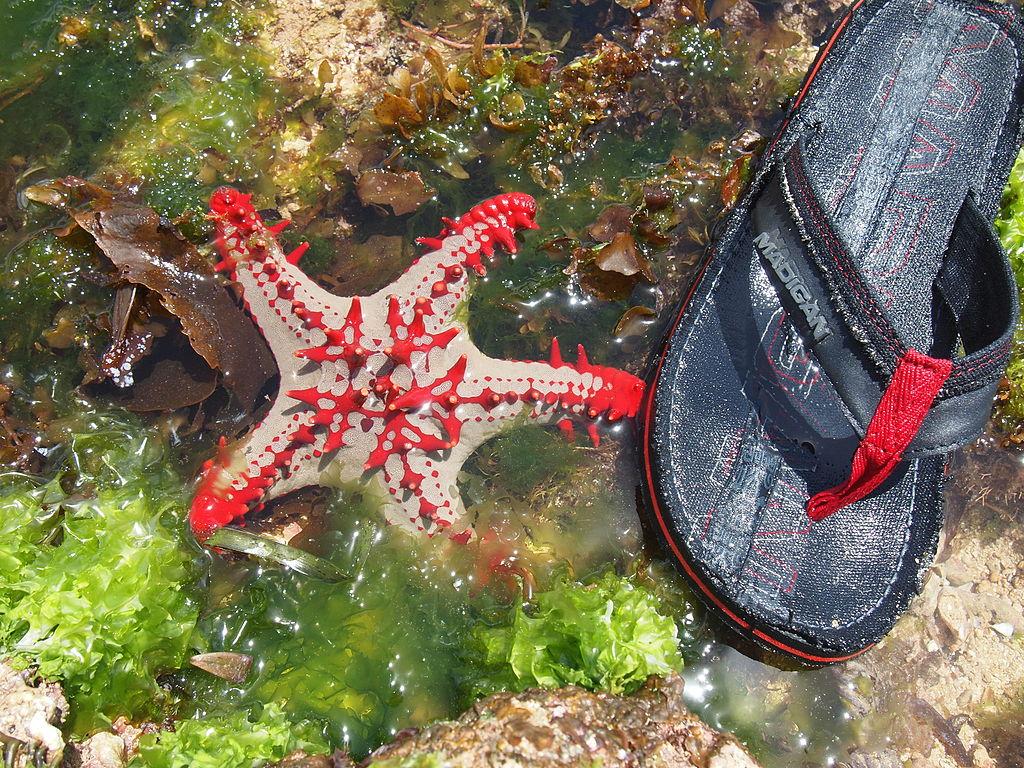 File Malindi Reef Red Knobbed Starfish Jpg Wikimedia Commons