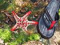 Malindi Reef Red-knobbed starfish.jpg