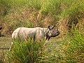 Mammal Rhino Kaziranga IMG 4676 03.jpg