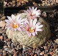 Mammillaria aureilanata Rep1030.jpg