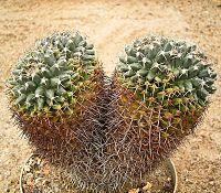 Mammillaria karwinskiana karwinskiana 01 ies