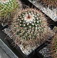 Mammillaria karwinskiana subsp. beiselii.jpg