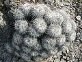 Mammillaria parkinsonii (5780629080).jpg