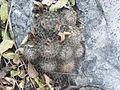 Mammillaria ritteriana (5661264605).jpg