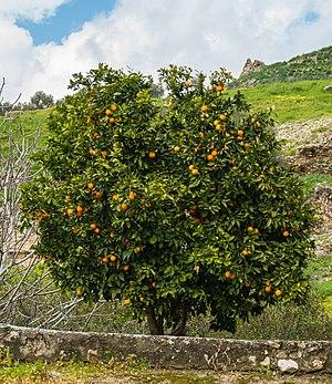 Mandarinier Gortyne.jpg