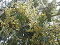 Mango buds.jpg