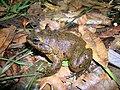 Mantidactylus guttulatus01.jpg