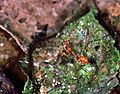 Mantis Nymph (7657772944).jpg