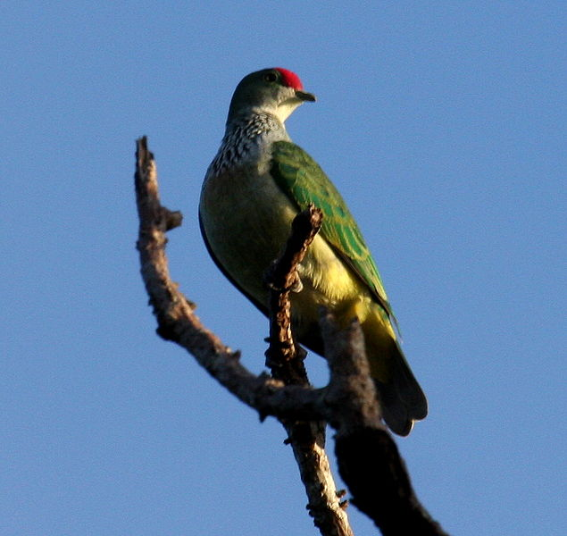 File:Manycoloured fruitdove fem bobbys.JPG