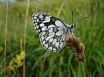 Marbled white butterfly - geograph.org.uk - 400059.jpg