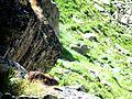 Marmotă în Retezat.jpg
