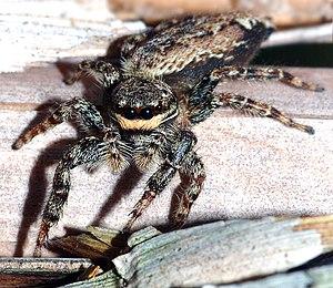 Spring Spider (Marpissa muscosa)