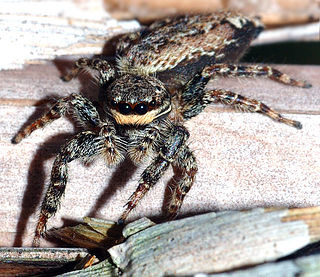 Dionycha section of arachnids