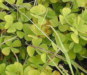 Marsileaceae - Leaves of the Hawaiian species Marsilea villosa.