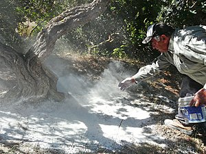 Mastic (plant resin) - traditional collecting of Mastic in the island of Chios