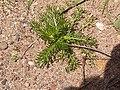 Matricaria discoidea plant (09).jpg