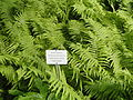 Matteuccia struthiopteris - Botanical Garden in Kaisaniemi, Helsinki - DSC03760.JPG