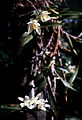 Maxillaria camaridii - pl.jpg