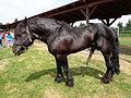 Međimurski konj (vranac) na sajmu MESAP 2015.jpg