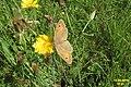 Meadow brown (Havl.) (15797299948).jpg