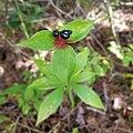 Medeola virginiana fruits.jpg