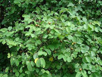 Flora of Madhya Pradesh - Garari at fruiting