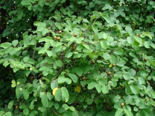 Medicinal Plant Cleistanthus collinus