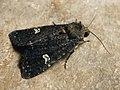 Melanchra persicariae - Dot moth - Садовая совка черноватая (41032005292).jpg