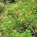 Melianthus comosus 1.jpg