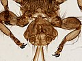 Melophagus ovinus (YPM IZ 093754).jpeg