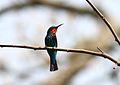 Merops gularis (Meropidae) (Black Bee-eater), Atewa Range Forest Reserve, Ghana.jpg