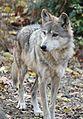 MexicanWolf CanisLupusBaileyi4.jpg