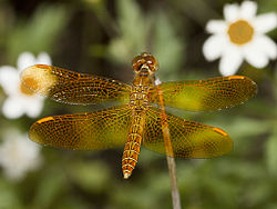 Mexican Amberwing, Perithemis intensa, male.jpg