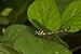 Microgomphus souteri at Kadavoor.jpg